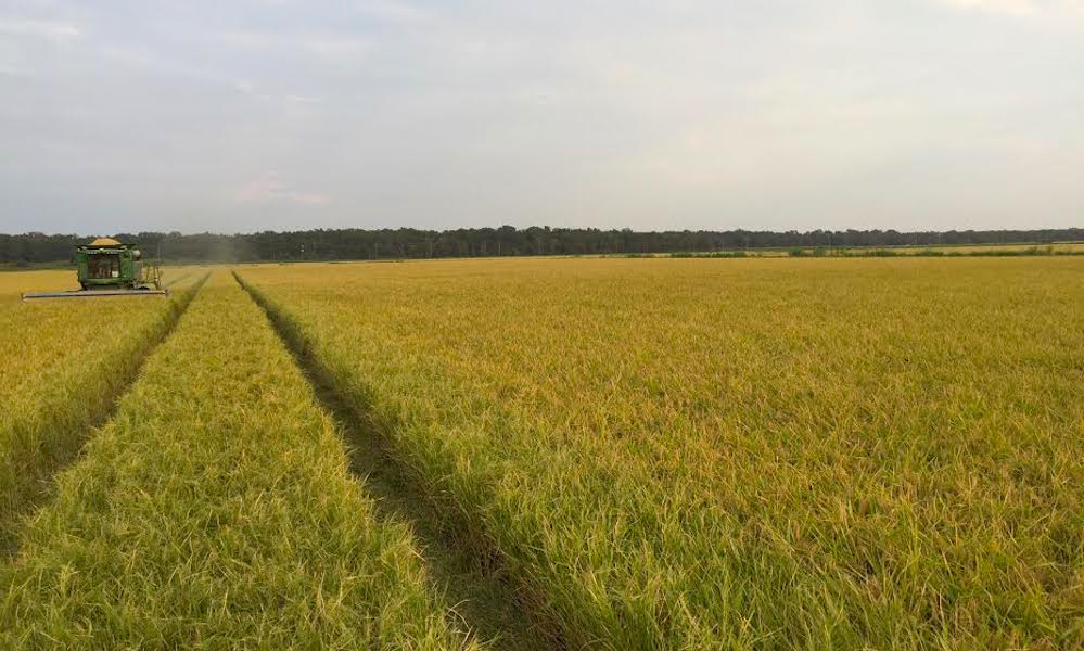 Cultivo de arroz de la familia Isbell en 2016 (Foto: Mark Isbell)