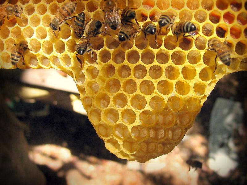 Opérculo de la apicultura