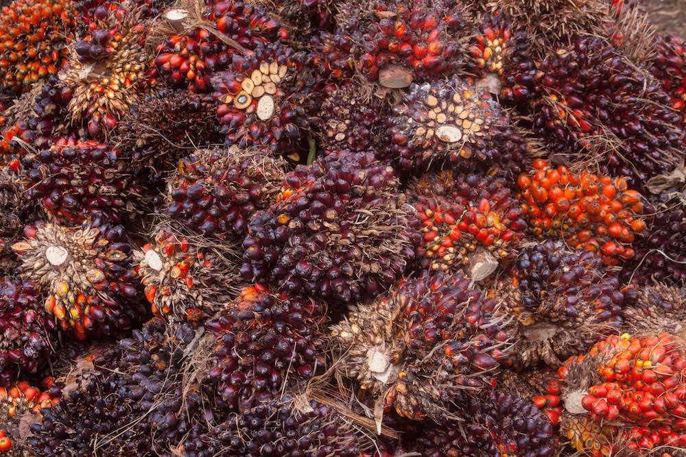 Fruto de palma africana cultivada en Nicaragua. De esta planta se obtiene aceite vegetal para consumo humano. Su siembra en grandes extensiones de tierra amenaza la biodiversidad (Foto: Alejandro Ramírez Anderson)