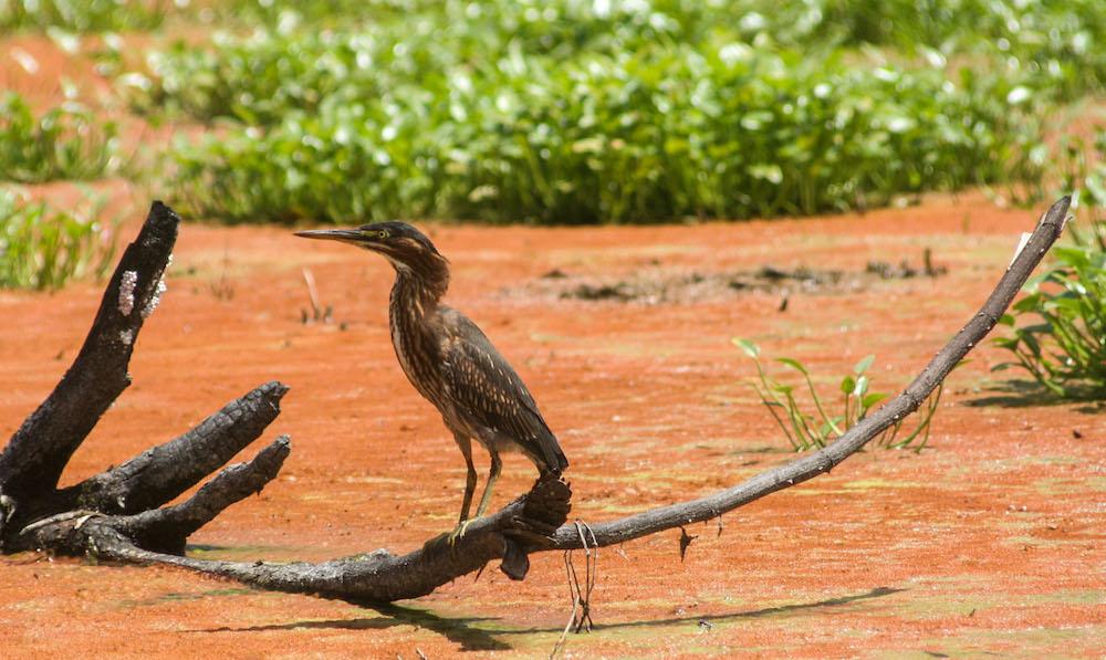 Aves de la Ciénaga de Zapata (Foto: Alejandro Ramírez Anderson)