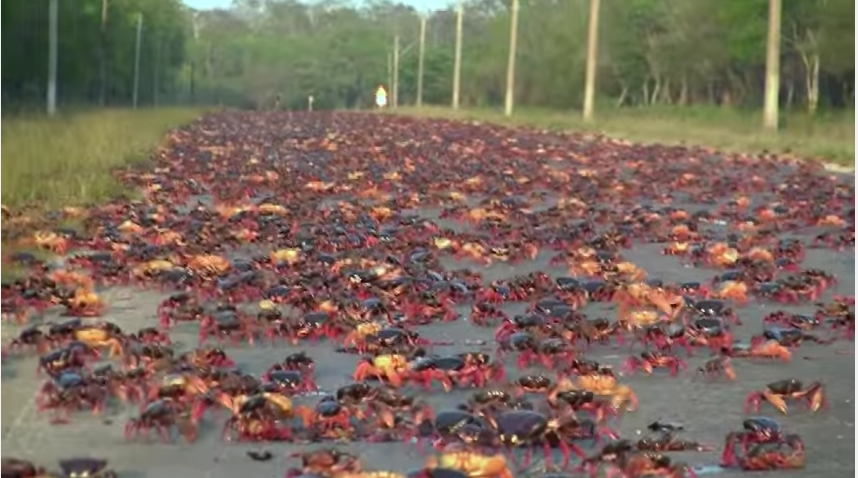 Cangrejo rojo durante la etapa de migración en Matanzas, Cuba