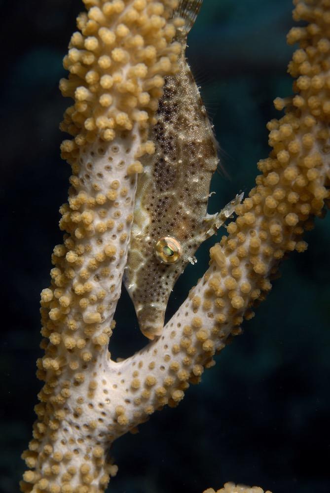 El pez lija es de la familia Monacanthidae de peces marinos, incluida en el orden Tetraodontiformes, distribuidos por los océanos Atlántico, Índico y Pacífico.