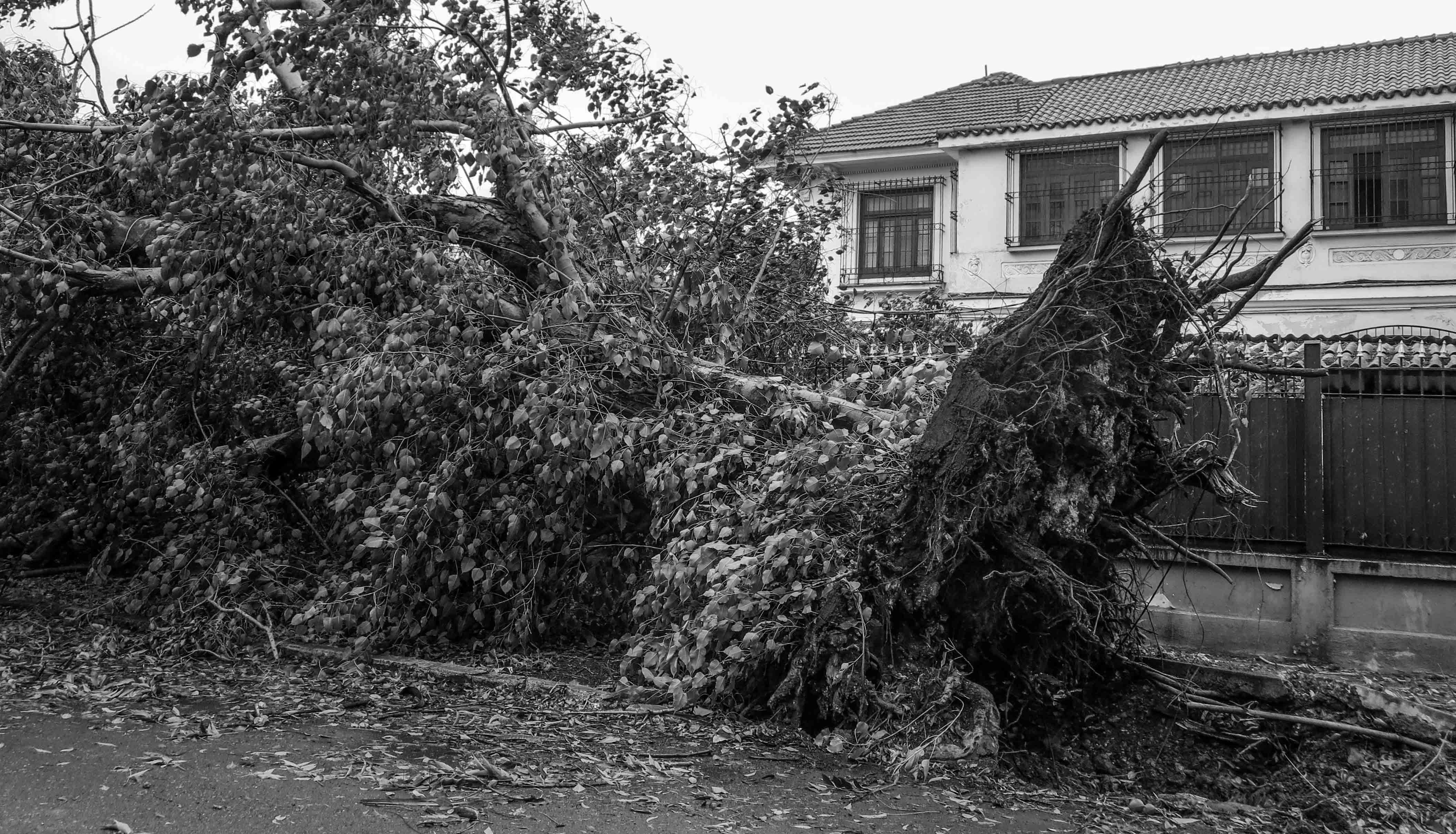 En el reparto Miramar la poda y recogida de los árboles supone un desafío para las brigadas que se encuentran trabajando en el saneamiento (Foto: Mónica Baró)