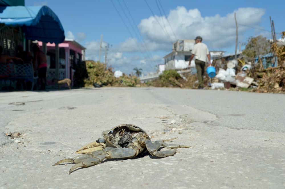 Los cangrejos, uno de los símbolos de Caibarién, se pueden ver por las calles, unos con más vida que otros