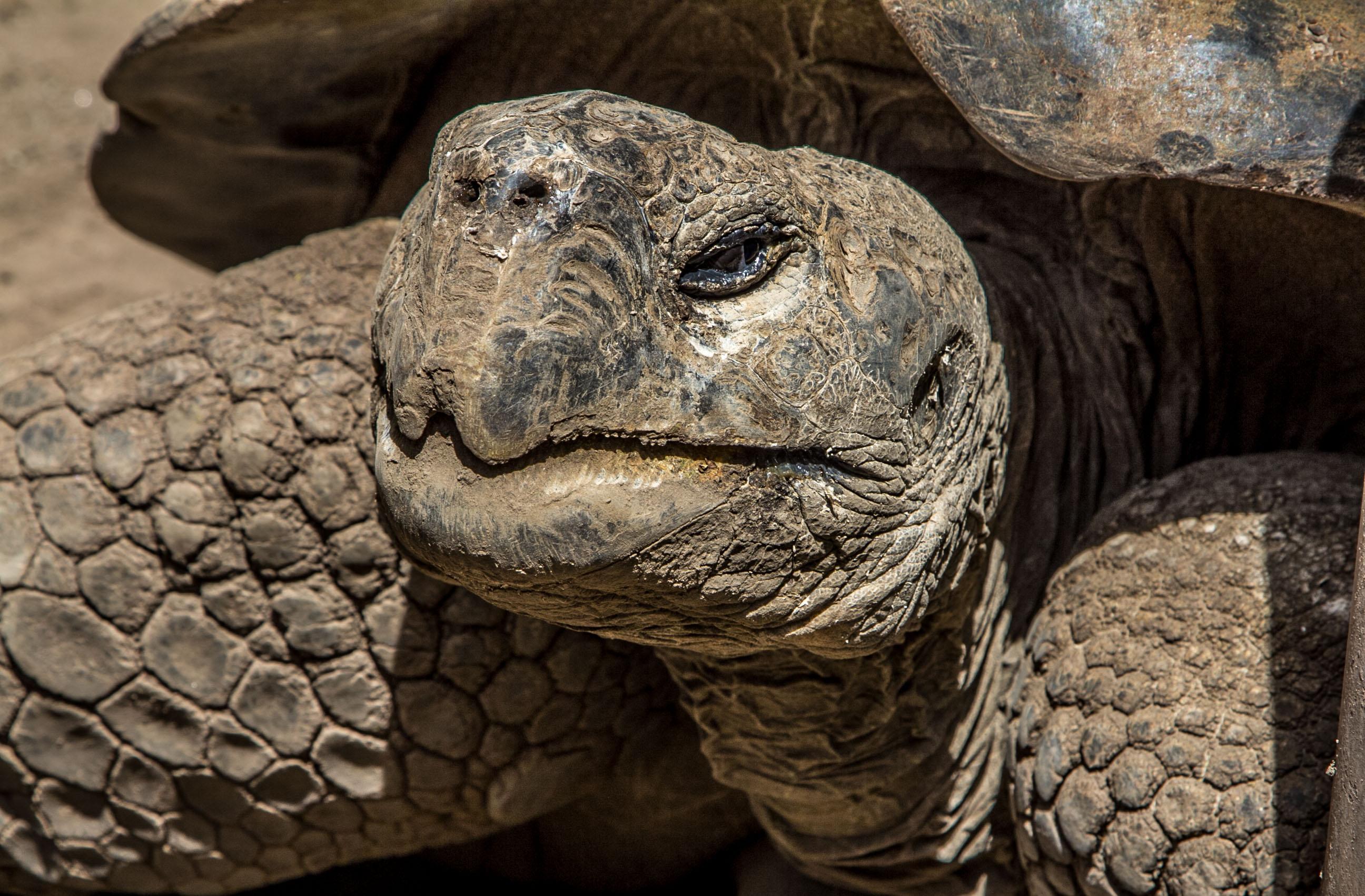 Este galápago forma parte de un zoológico de nueva concepción ubicado en Ecuador. Todas las especies son rescatadas de situaciones de caza ilegal, tráfico o accidentes (Foto: Alejandro Ramírez Anderson)