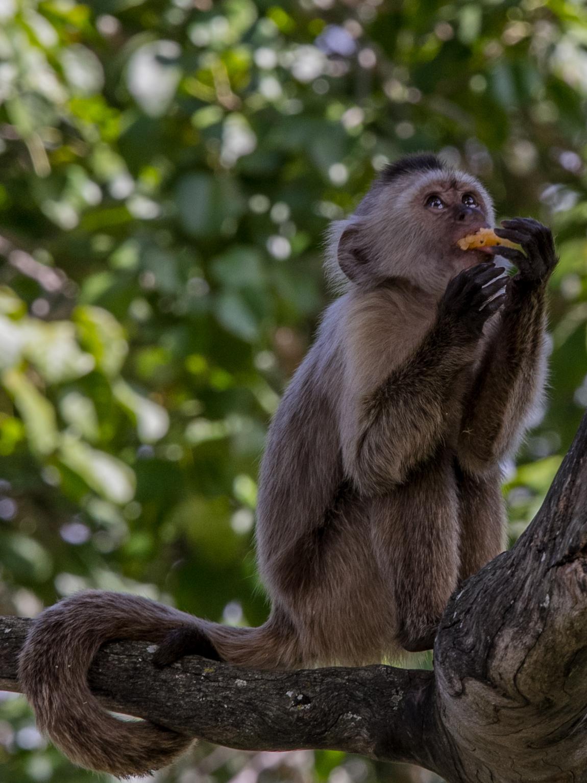 Este mono se exhibe en el Parque Generalísimo Francisco de Miranda, de Caracas, Venezuela. Hasta allí llegan miles de personas diariamente a hacer ejercicios, meditar, o a pasear (Foto: Alejandro Ramírez Anderson)