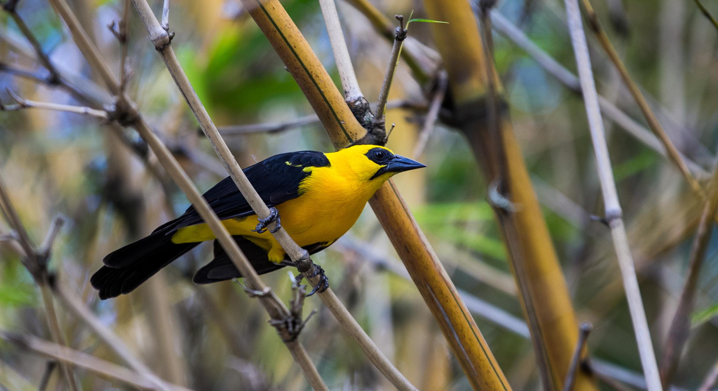 El turpial, ave nacional de Venezuela, vuela en libertad dentro de este parque caraqueño (Foto: Alejandro Ramírez Anderson)