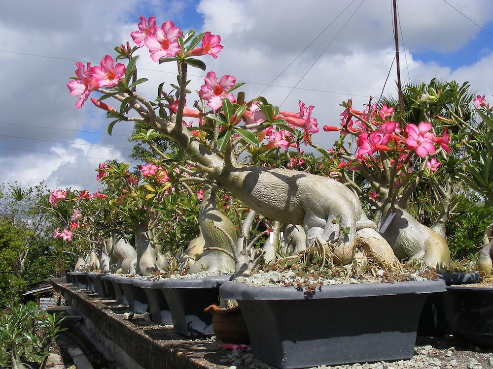 Rosa del desierto, planta originaria de Madagascar Una de las especies de orquídeas más pequeñas del mundo (Foto: Didier Cruz Fernández).
