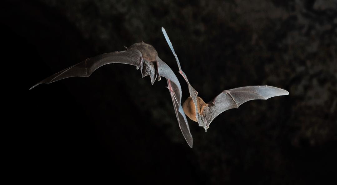 Murciélago Bigotudo Grande (Pteronotus parnelli). Foto tomada durante el éxodo nocturno en la caverna La Barca, Parque Nacional Guanahacabibes. Agradecimientos a Brock y Sherry Fenton (Foto: Jose Manuel de la Cruz Mora).