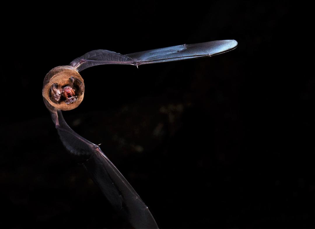 Murciélago Cara de Fantasma (Mormoops blainvillei). Foto tomada durante el éxodo nocturno en la caverna La Barca, Parque Nacional Guanahacabibes. Agradecimientos a Brock y Sherry Fenton (Foto: Jose Manuel de la Cruz Mora).