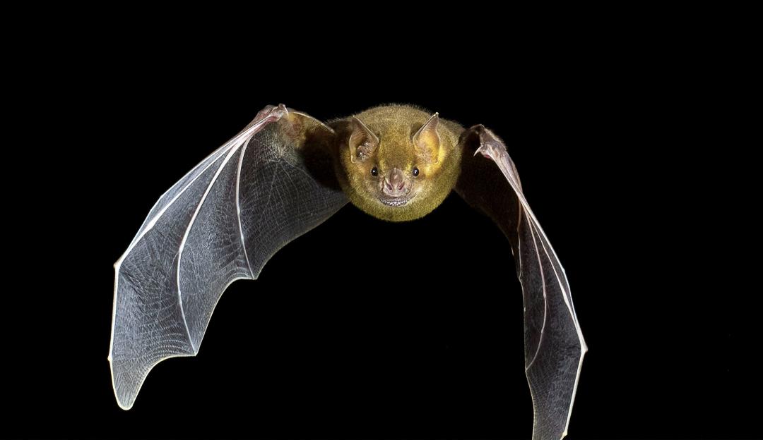 Murciélago Frutero Grande de Jamaica (Artibeus jamaicensis). Foto tomada durante el éxodo nocturno en la caverna La Barca, Parque Nacional Guanahacabibes. Agradecimientos a Brock y Sherry Fenton (Foto: Jose Manuel de la Cruz Mora).