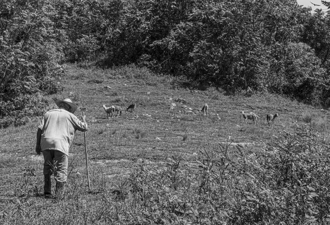 Por su avanzada edad, Alejandro, no puede trabajar la tierra. En cambio, se dedica a pastorear carneros en los campos verdes de las lomas. Habla de lo doloroso que es para él caminar o permanecer mucho tiempo de pie, a causa del avanzado desgaste de las articulaciones de sus rodillas (Foto: Lázaro Lemus).