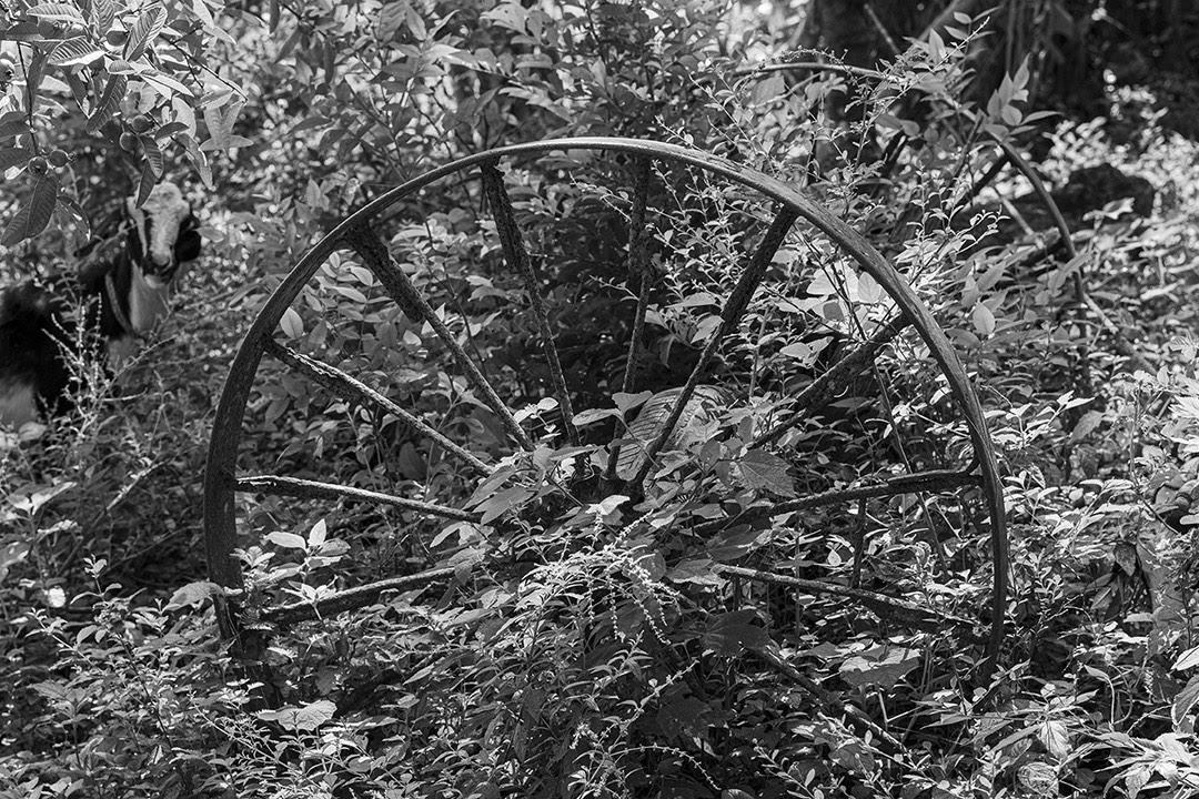 Las ruedas de una carreta envejecen en un jardín que la hierba cubre (Foto: Lázaro Lemus).