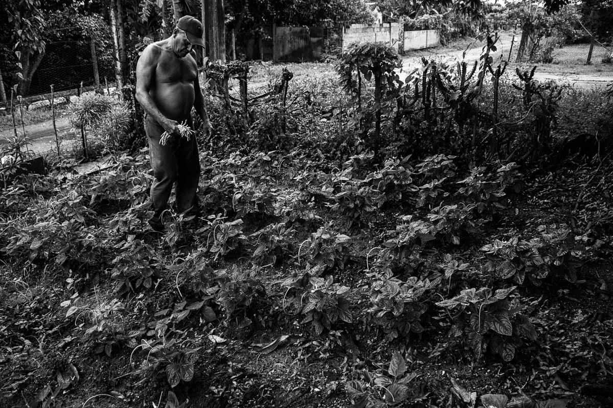 Recoge algunas habichuelas plantadas en la entrada de su casa (Foto: Sadiel Mederos Bermúdez).