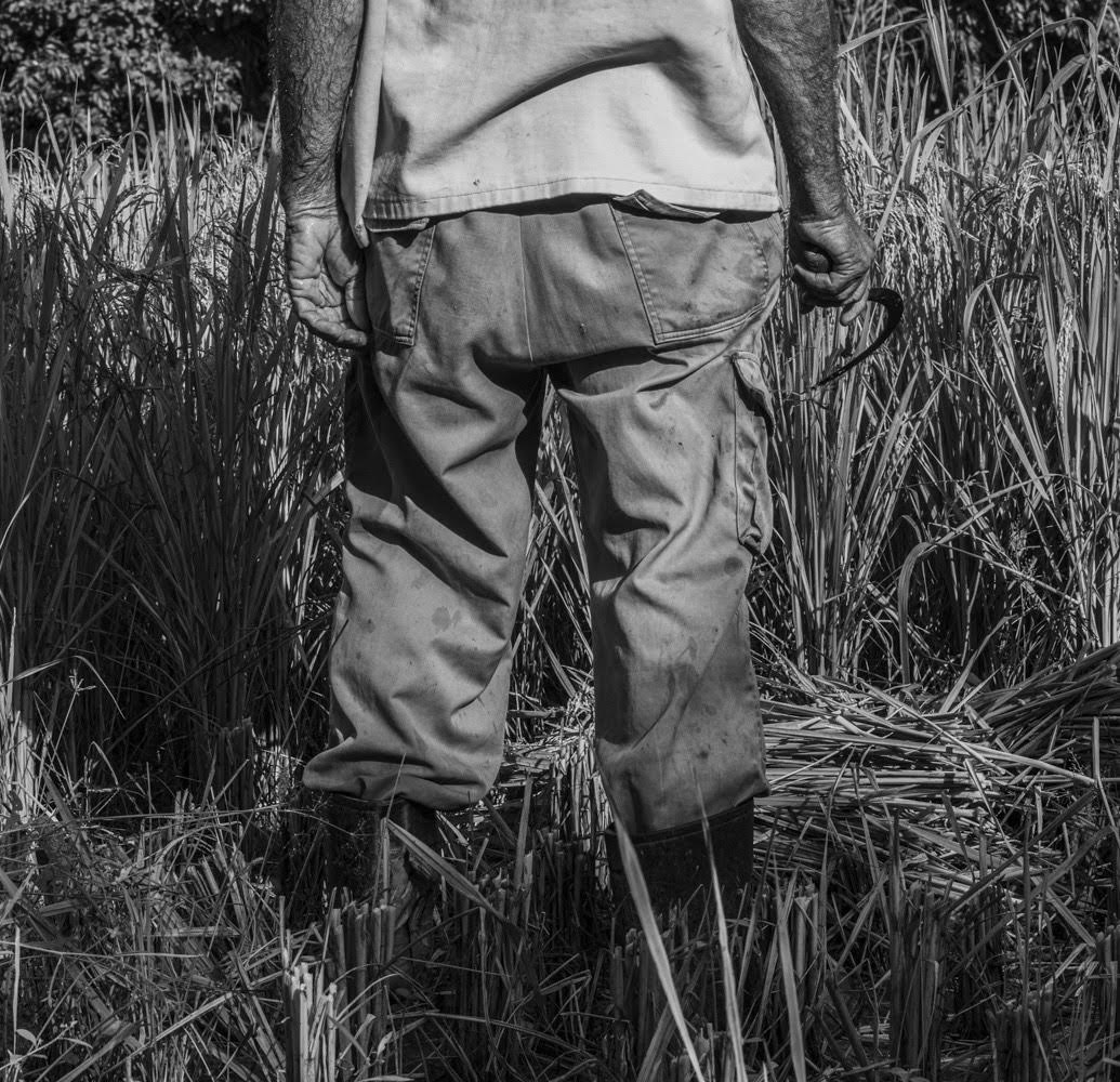 La tierra en el valle es fértil, pero no es ideal para el cultivo de arroz, ya que no retiene la humedad. Aun así, los campesinos construyen diques cerca de los arroyos donde siembran el preciado alimento (Foto: Lázaro Lemus).